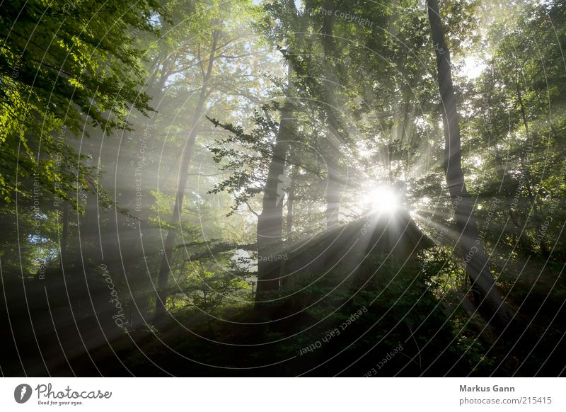 Light rays in the forest Nature Landscape Plant Air Weather Bad weather Fog Tree Forest Gray Green Dark Sunbeam Hut Leaf Natural phenomenon Flare