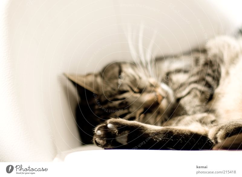White Calm Animal Cat Sleep Animal face Lie Pelt Fatigue Cute Paw Safety (feeling of) Pet Undisturbed Closed eyes Claw