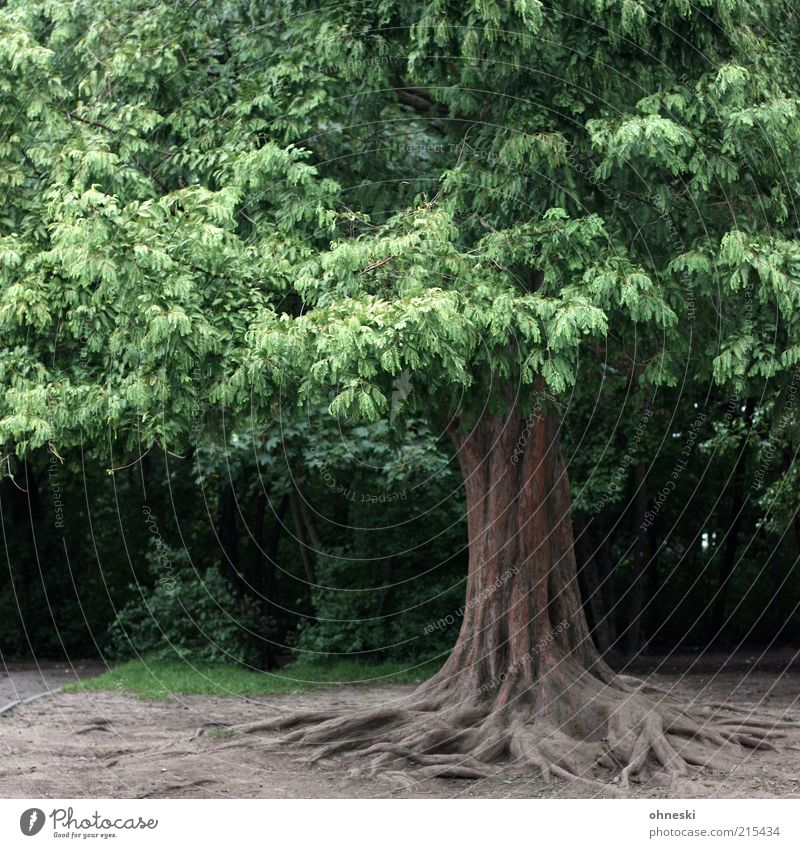 Nature Old Tree Green Leaf Power Environment Large Tree trunk Treetop Root Unwavering Rooted Root formation