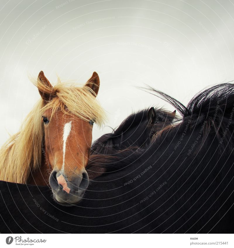 Animal Black Brown Natural Wind Wild Wild animal Wait Stand Esthetic Cute Horse Friendliness Curiosity Animal face Animalistic