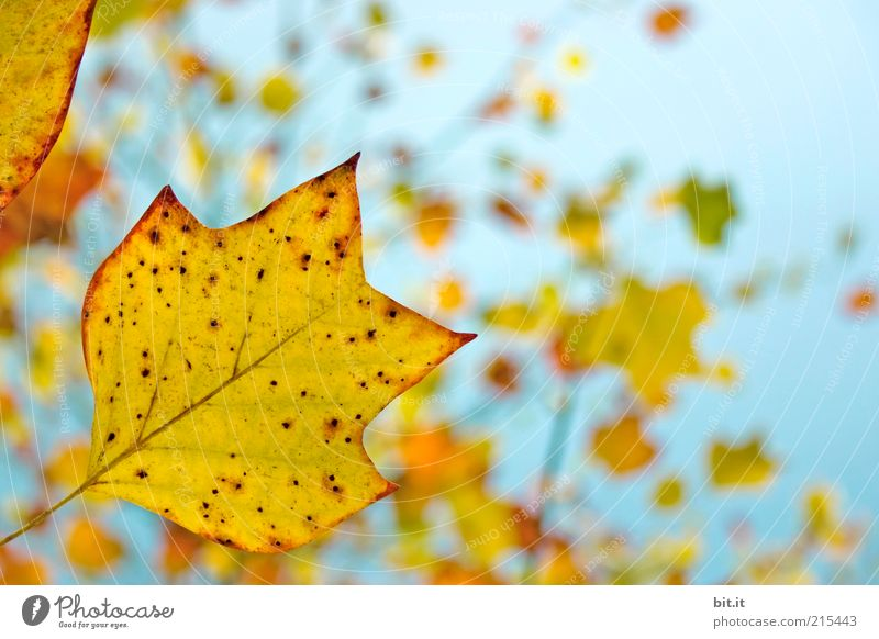 Nature Sky Blue Plant Leaf Yellow Autumn Wind Environment Gold Change Transience Seasons Positive Rachis Autumn leaves