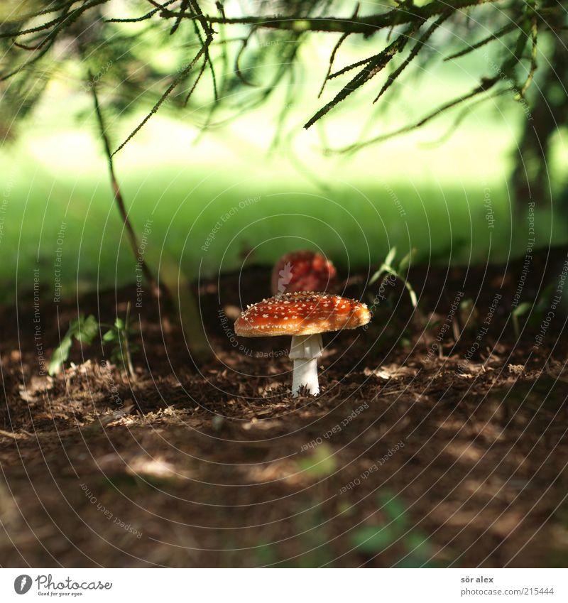 diabolic fungus Nutrition Nature Plant Grass Mushroom Mushroom cap Amanita mushroom Fir branch Undergrowth Forest Growth Esthetic Threat Natural Beautiful Soft