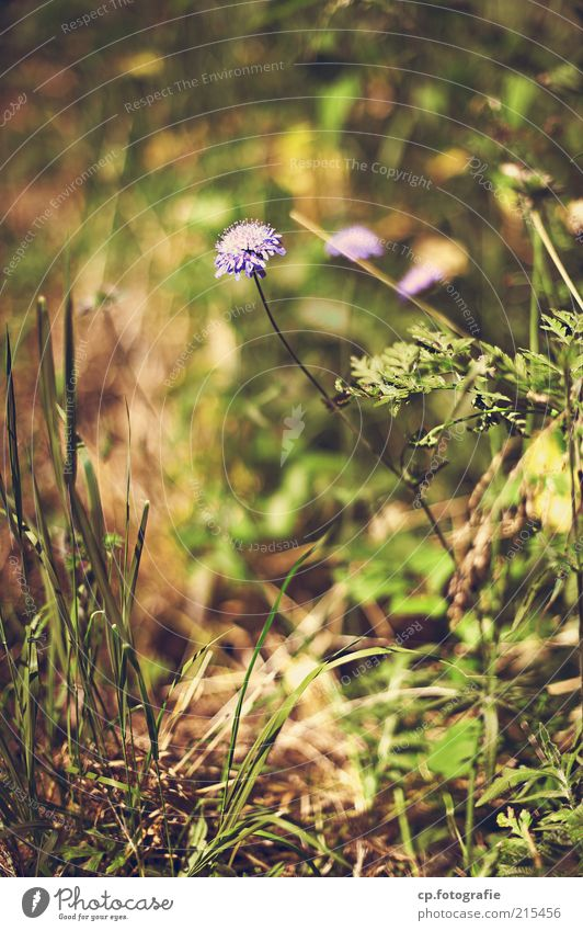 loner Environment Nature Plant Summer Autumn Flower Grass Blossom Meadow Beautiful Day Shallow depth of field Violet Deserted Blur