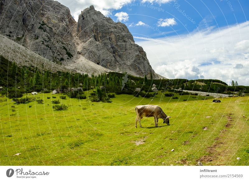 Dolomites - Alta Via 1 Vacation & Travel Summer Mountain Hiking Nature Landscape Meadow Rock Alps Animal Cow To feed Esthetic Free Natural Wild Blue Gray Green