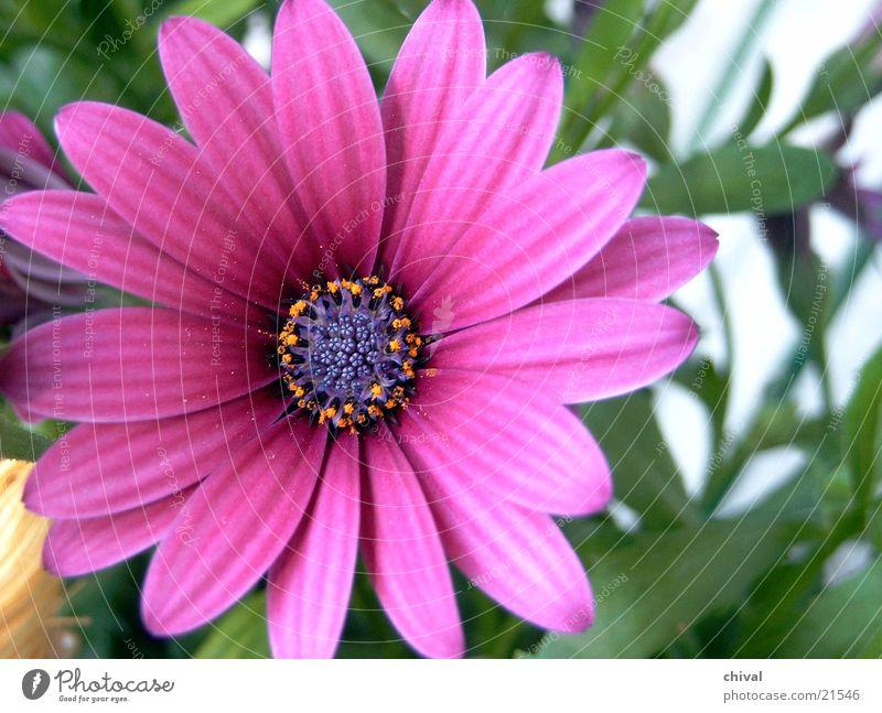 Flower Blossom Star (Symbol) Violet