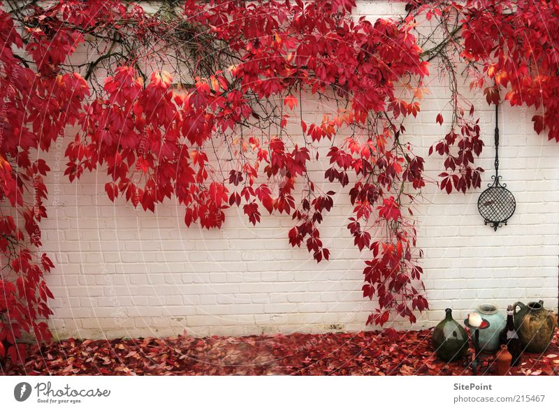 White Plant Red Leaf Wall (building) Autumn Garden Wall (barrier) Moody Growth Bushes Vine Food Autumnal Wall plant Light