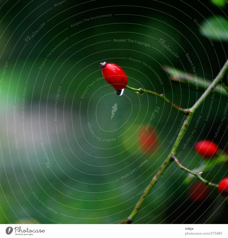 Nature Green Red Plant Calm Relaxation Environment Life Autumn Rain Weather Wet Fresh Growth Drops of water Fragrance
