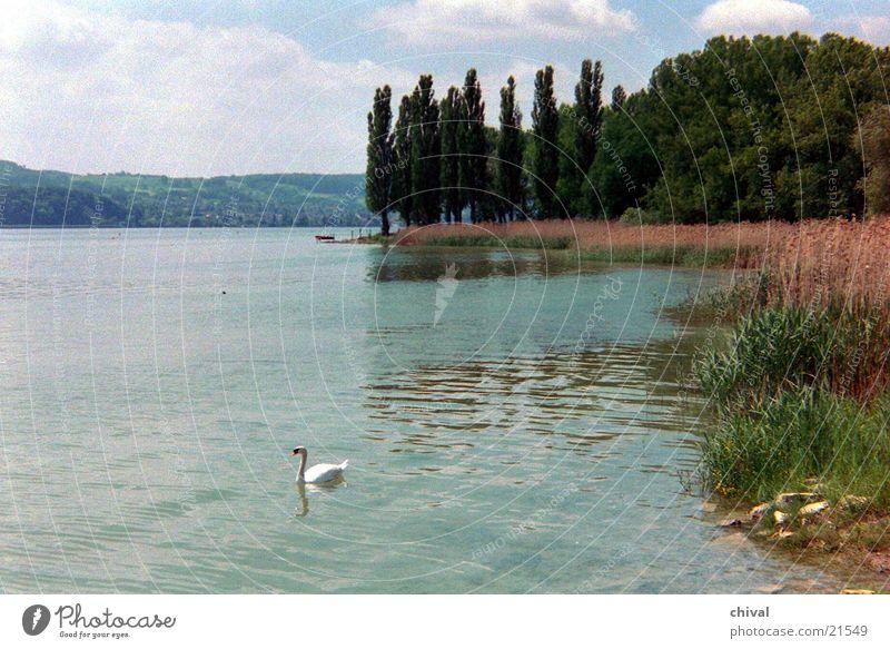 Lake Coast Common Reed Swan Poplar