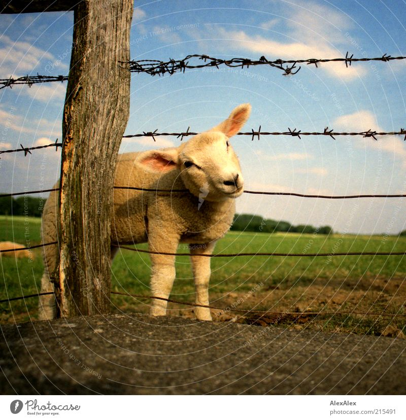 fucking again! Landscape Sky Clouds Beautiful weather Grass Meadow Field Deserted Farm animal Sheep Lamb 2 Animal Baby animal Fence Fence post Wire fence