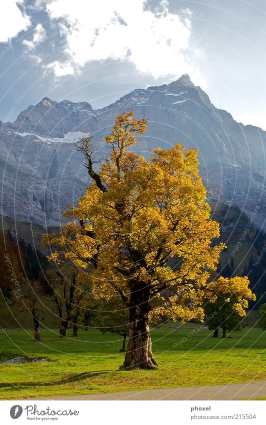 Nature Old Tree Red Clouds Environment Landscape Autumn Mountain Brown Large Alps Beautiful weather Middle Snowcapped peak Maple tree
