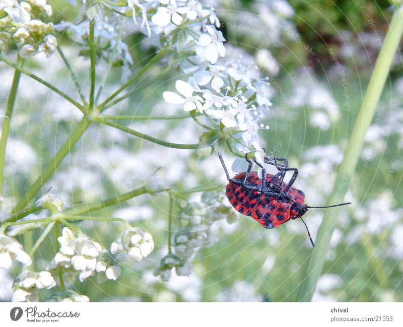 Red Meadow Beetle Flower Cow parsley