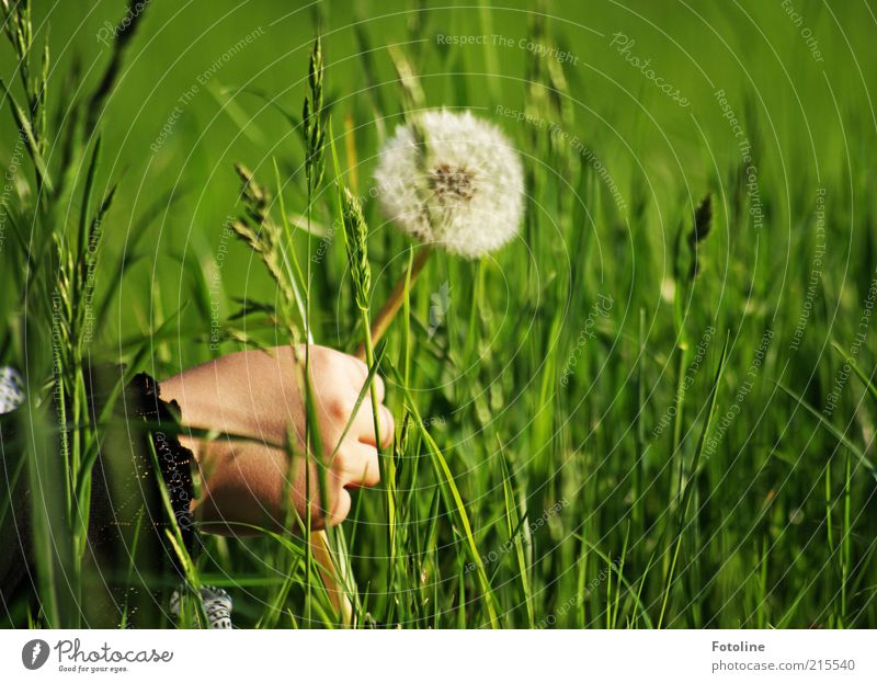 Human being Child Nature Hand White Flower Green Plant Summer Meadow Grass Bright Environment Natural Infancy Dandelion