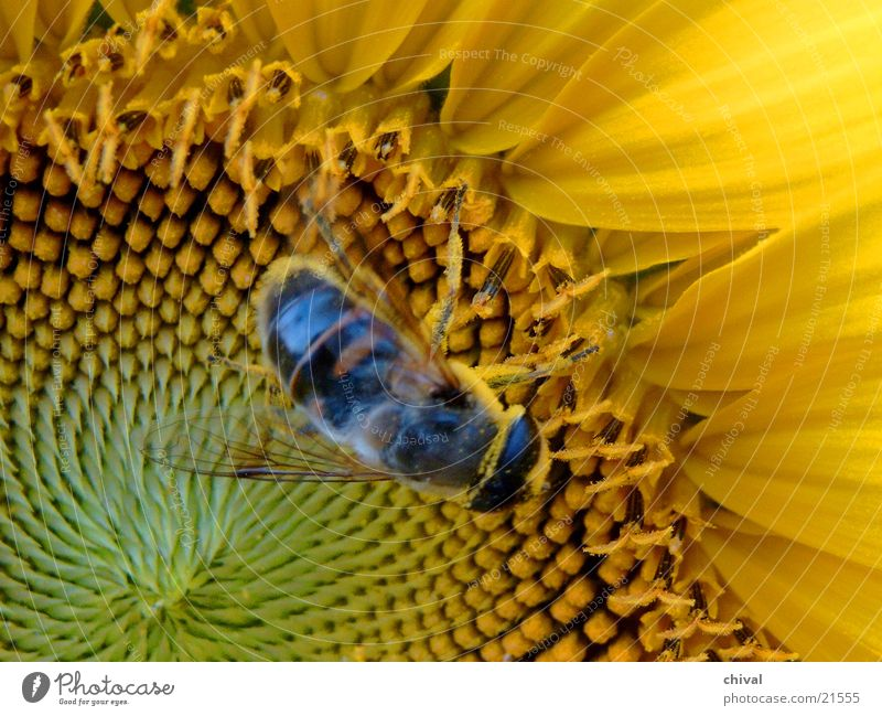 pollination Bee Insect Sunflower Yellow Close-up