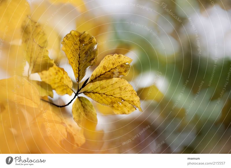 give me 5 Environment Nature Autumn Tree Leaf Autumn leaves Autumnal Autumnal colours Early fall Authentic Exceptional Yellow Gold End Transience Change