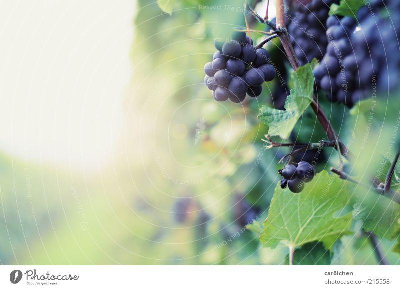 Nature Blue Plant Leaf Autumn Environment Fruit Vine Violet Mature Bunch of grapes Vineyard Berries Agricultural crop Wine growing