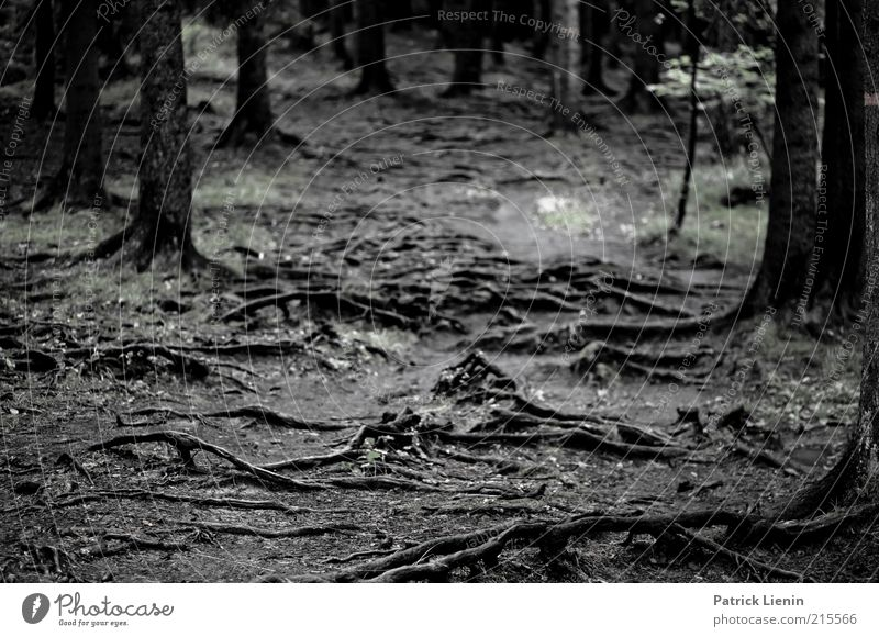 root forest Environment Nature Landscape Plant Earth Autumn Tree Forest Dark Root Lanes & trails Eerie Moody Wet Smoothness Black & white photo Exterior shot