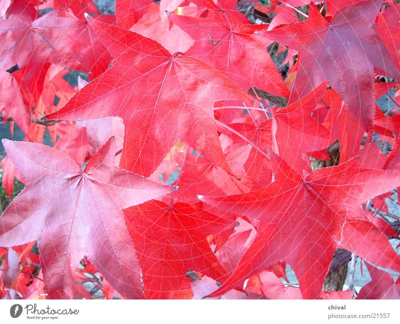 Red Leaf Autumn Colouring Indian Summer