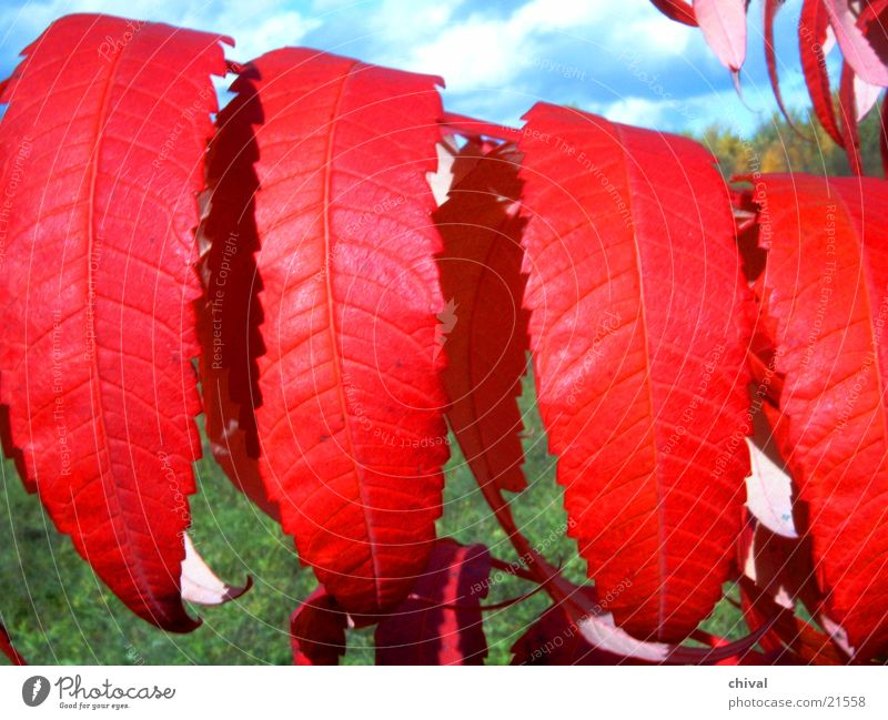 Leaf Autumn Staghorn sumac