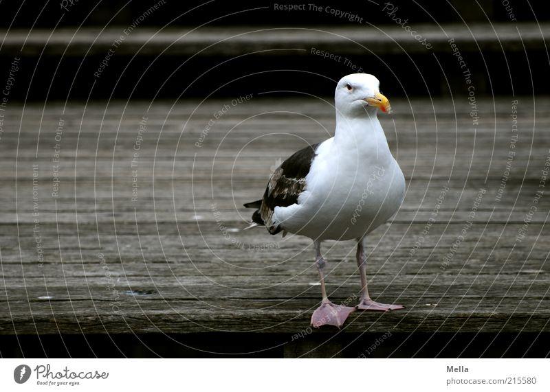 White Animal Dark Wood Brown Bird Stand Footbridge Seagull Unfriendly Ferocious Black-backed gull