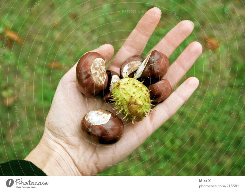 Autumn in your hand Leisure and hobbies Handicraft Nature Plant Tree Round Thorny Brown Collection Chestnut Bowl Craft materials Autumnal Search Colour photo