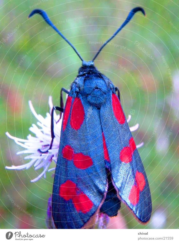 Black and Red Butterfly Blossom Colouring Burnet Wing Close-up