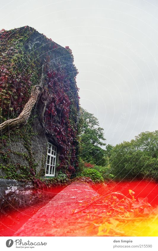Plant Red Vacation & Travel House (Residential Structure) Autumn Garden Idyll Historic Farmhouse Section of image Rural Ireland Tendril Ivy Characteristic