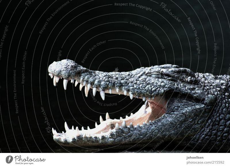 bite me Safari Animal Wild animal Animal face Scales Crocodile Alligator Looking Aggression Threat Strong Black Power Dangerous Grouchy Exotic Colour photo