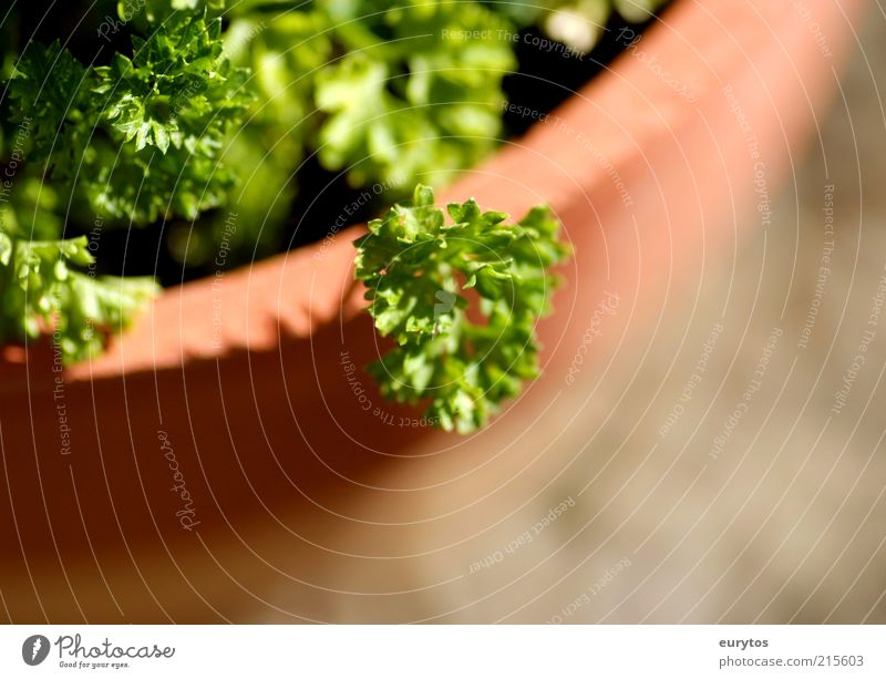 Peter Silie Herbs and spices Nature Plant Agricultural crop Healthy Green Parsley Pot plant Exterior shot Macro (Extreme close-up) Copy Space bottom Contrast