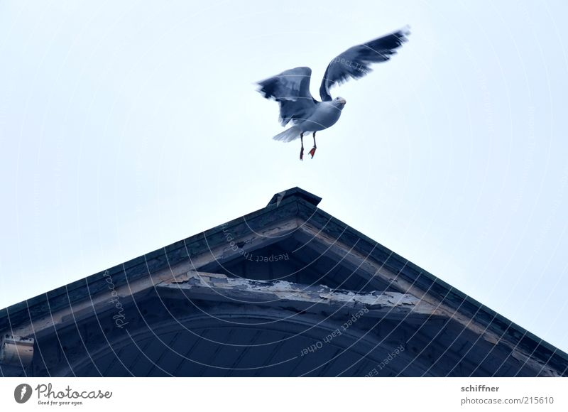 Sky Animal Flying Wing Surprise Departure Seagull Iceland Judder Gable Wooden house Roof Aloof Looking into the camera Altitude flight