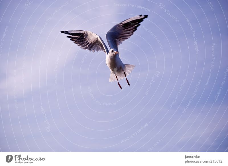 Gymnastic Gull Bird Wing 1 Animal Flying Esthetic Free Power Contentment Elegant Freedom Nature Pride Symmetry Seagull Hover Outstretched Wind Blue sky