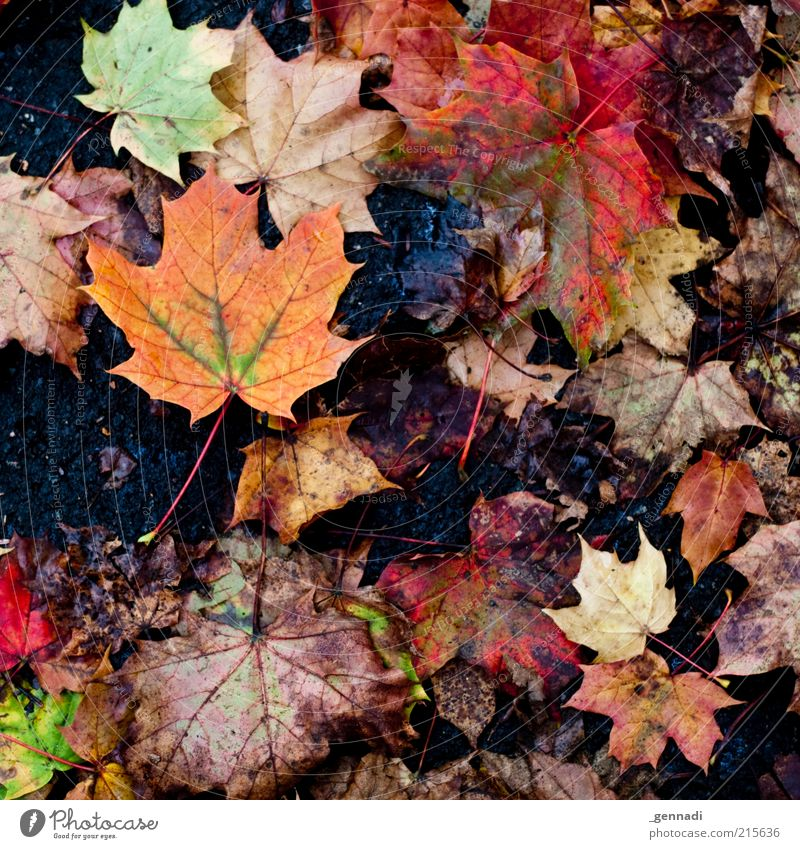Dirty Autumn Nature Bad weather Leaf Autumnal colours Ground Hideous Natural Truth Honest Authentic Maple leaf Old Transience Colour photo Multicoloured