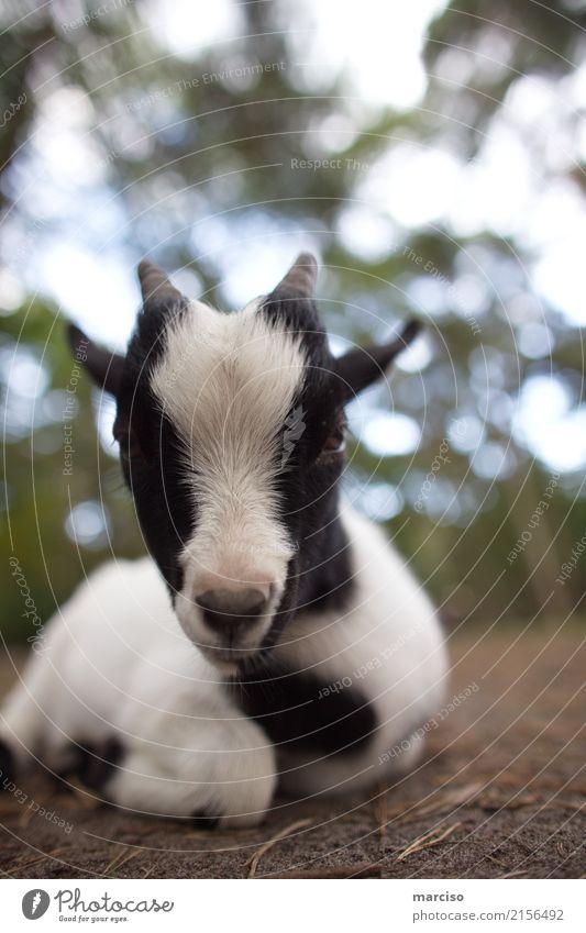 goat Animal Farm animal Wild animal Pelt Zoo Petting zoo Goats 1 Baby animal Lie Beautiful Cute Soft Black White Love of animals Environment