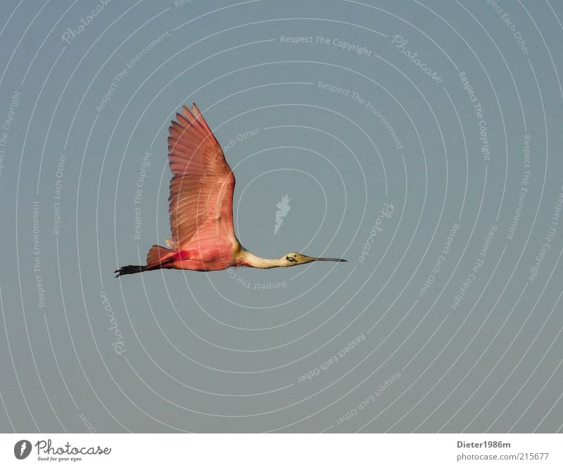 spoonbill Environment Nature Animal Wild animal Bird Wing 1 Movement Flying Esthetic Exceptional Elegant Exotic Far-off places Free Good Tall Natural Beautiful