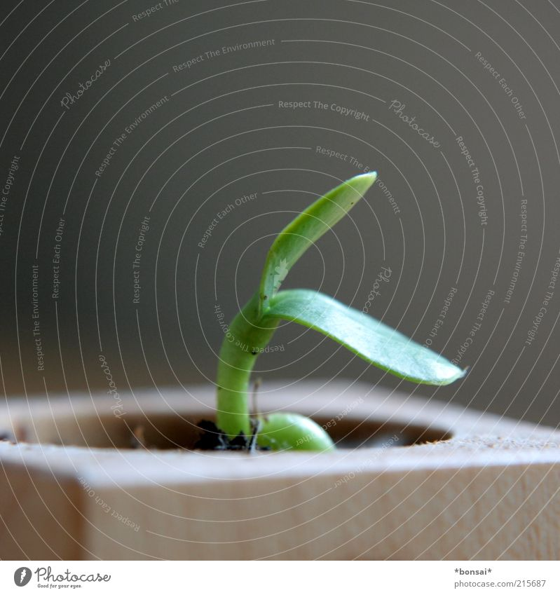 When I grow up... Plant Flower Leaf Sunflower Growth Fresh Small Natural Green Spring fever Life Beginning Nature Future Fragile Delicate Pot plant Colour photo