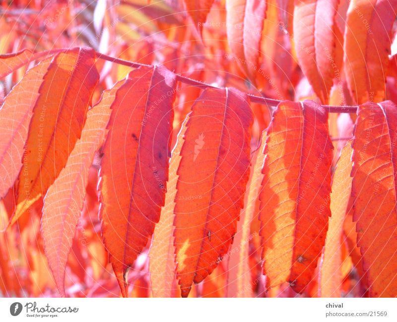 Indian buzzer Autumn leaves Leaf Staghorn sumac Back-light Orange Close-up