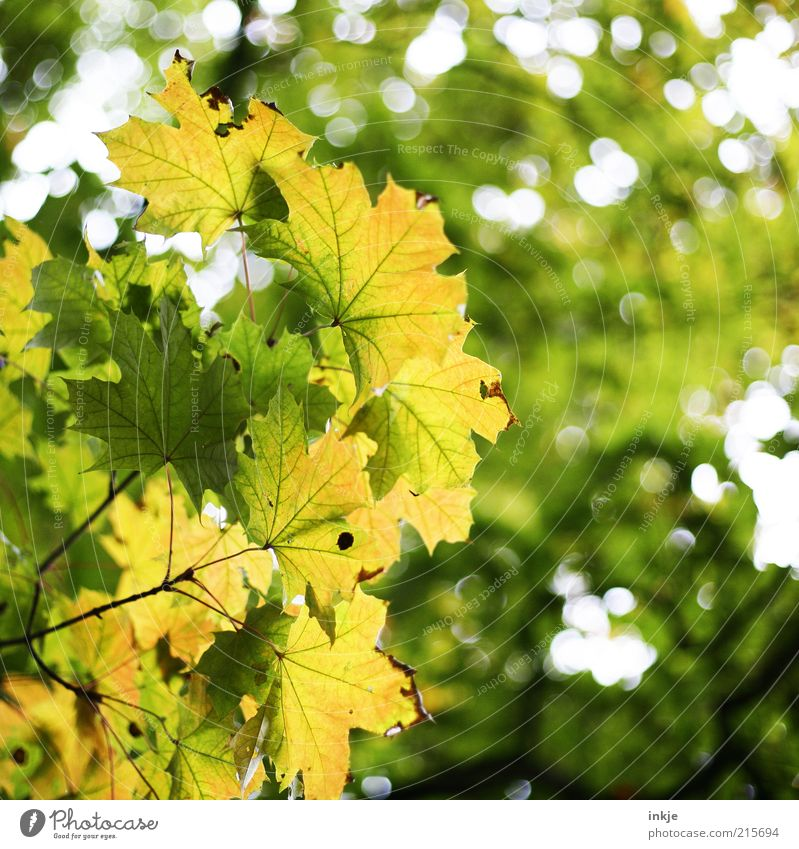 maple Environment Nature Landscape Plant Air Sky Summer Autumn Tree Leaf Leaf canopy Forest Point of light To dry up Growth Fragrance Fresh Beautiful Yellow