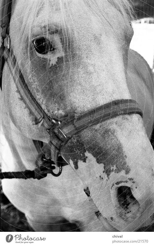 horse's head Horse Circus Crockery Bridle Nostrils Mold