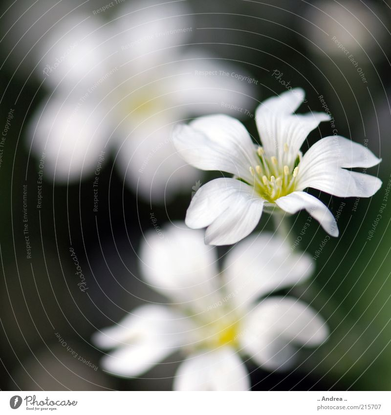 flower Beautiful Healthy Plant Flower Blossom Sweet White Blossoming Nature Growth Deserted Copy Space bottom Copy Space left Colour photo Exterior shot