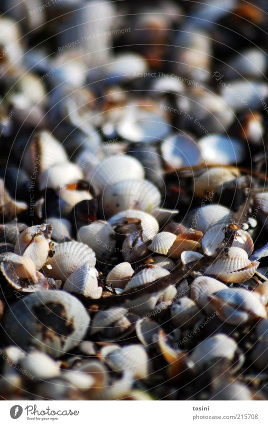 sea of shells Environment Nature Coast Beach North Sea Baltic Sea Ocean Brown Mussel Mussel shell Shell-shaped Shell-bearing mollusk Countless Many Branch