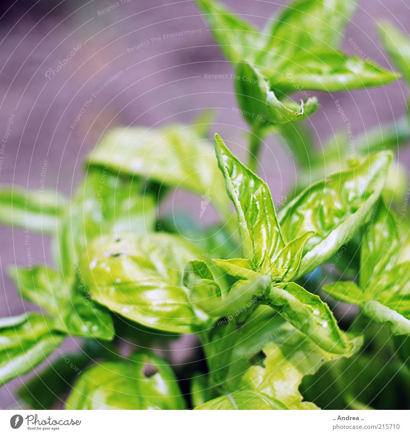 Nature Beautiful Green Plant Calm Growth To enjoy Nutrition Herbs and spices Agricultural crop Spicy Basil Herb garden Refine Basil leaf