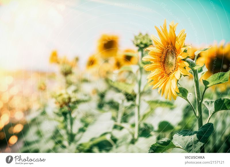 sunflowers Lifestyle Summer Garden Nature Landscape Plant Beautiful weather Flower Leaf Blossom Agricultural crop Yellow Design Pollen Sunflower Sunflower field