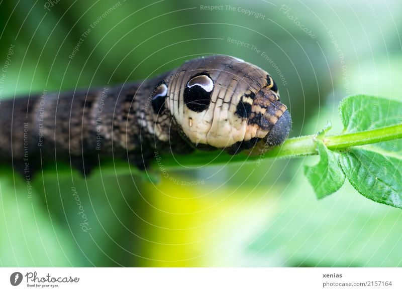 I'll eat my fill first. Animal Summer Autumn Plant Leaf Garden Park Caterpillar Elephant Hawk-moth Butterfly 1 Brown Yellow Green Black Pattern Colour photo