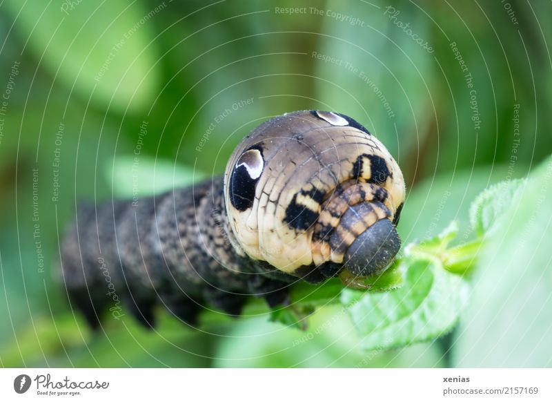 feeding wine hawk Animal Summer Autumn Leaf Garden Park Wild animal Animal face Caterpillar Elephant Hawk-moth Butterfly 1 Brown Green Distinctive Mandible