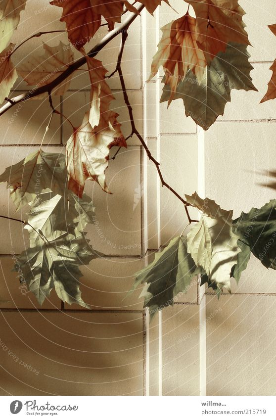 An autumn picture in the city Nature Autumn Tree Leaf Maple tree Brown Yellow Transience Twigs and branches Wall (barrier) Autumn leaves Autumnal colours
