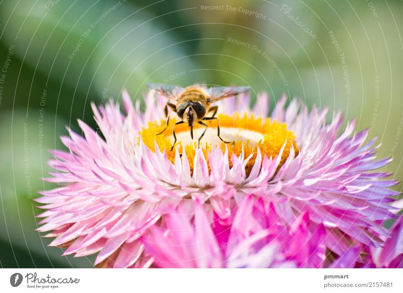 Bee captures pollen from a flower Herbs and spices Beautiful Illness Summer Garden Nature Plant Animal Sky Spring Flower Blossom Park Meadow Fly Butterfly Wing