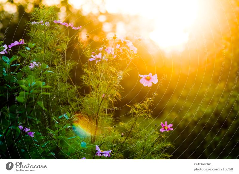 Nature Sun Flower Plant Summer Blossom Landscape Pink Bushes Blossoming Beautiful weather Dazzle Sunset Flashy Back-light Cosmos