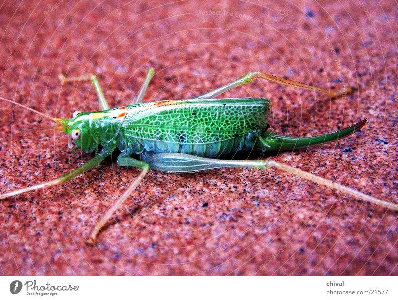 grasshopper Locust Green Red Flashy Clear