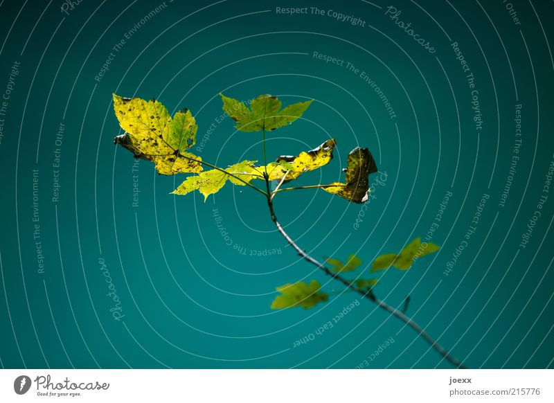Old Green Blue Plant Leaf Yellow Growth Twig Autumn leaves Time Autumnal Autumnal colours