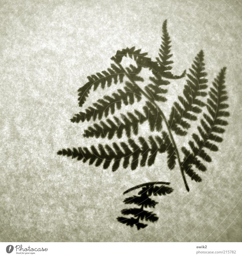 Old fern Plant Leaf Pressed To dry up Simple Historic Small Dry Fern Fern leaf Diminutive Broken Fragile Thin Twig Part of the plant Colour photo Subdued colour