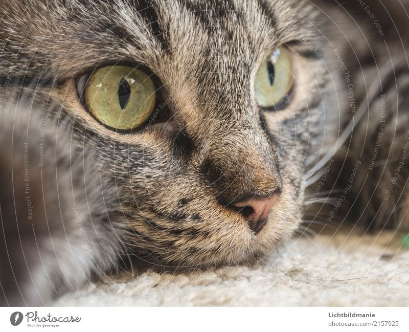 Cat Green Relaxation Animal Calm Environment Gray Brown Living or residing Contentment Observe Clean Near Pet Trust Pelt